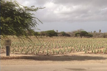 Plantation d'aloes
